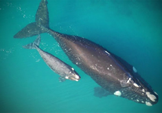 southern_right_whale_and_baby2-copy